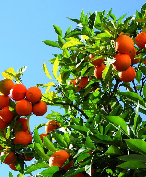Orangenbaum Hotel Los Geranios